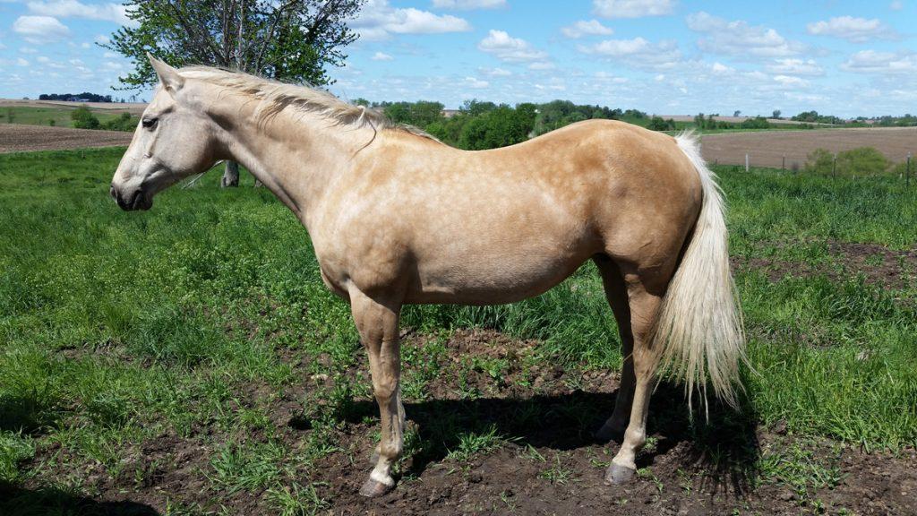 Ashlis Diamond Spark - Broadway Quarter Horses